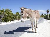 foto of donkey  - The donkey walking along the road by himself  - JPG
