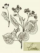 foto of linden-tree  - Vintage graphic Vector leaves - JPG