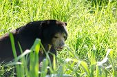 picture of species  - malayun sun bear is dangerous species in forest thailand and it have black hair u - JPG