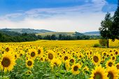 foto of sunflower-seeds  - summer sunflower field ripe sunflower seed Sunflower - JPG