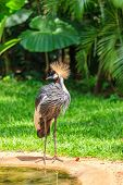 image of tropical birds  - Magnificent Crowned Crane - JPG