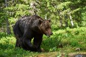 pic of grizzly bear  - A big brown bear walking in the Finnish forest - JPG