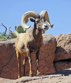 pic of ram  - A bighorn sheep Ovis canadensis of Western North America the ram with massive horns.