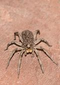 picture of baby spider  - Female wolf spider with baby spiders on back close up - JPG