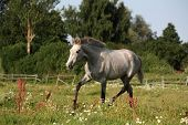 stock photo of colt  - Beautiful gray andalusian colt  - JPG