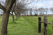 picture of pecan tree  - Young pecan trees line a fence and pasture - JPG