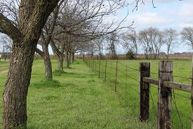 foto of pecan tree  - Young pecan trees line a fence and pasture - JPG