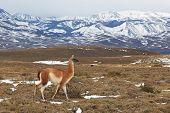 picture of lamas  - Guanaco  - JPG