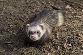 stock photo of stroll  - Free Ferret at blurred background - JPG