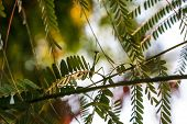 stock photo of predator  - Praying mantis a predator insect camouflaged on a tree Botswana - JPG
