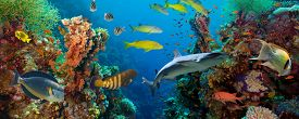 image of sea fish  - Tropical Anthias fish with net fire corals and shark on Red Sea reef underwater - JPG