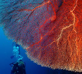 image of bottomless  - Bright and big hard coral and diver with bubbles on the background - JPG