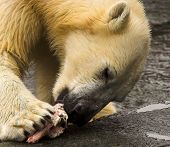 Polar Bear Eating Meat