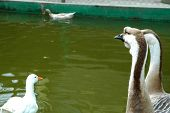 four geese story