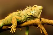 big green lizard on the branch