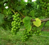 stock photo of grape-vine  - grapes on vines in new england - JPG