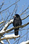 rook (Corvus frugilegus) in a winter scene
