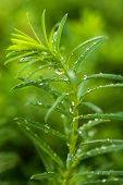 Wet Juniper Sprout