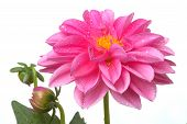 Pink Dahlia With Water Droplets 1