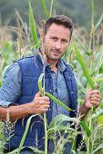 Agronomist analysing cereals in corn field