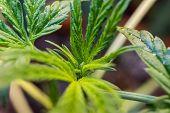 Growing Medical Marijuana In Canada. Professional Growing Marijuana poster