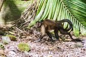 Capuchin Monkey At Ile Royale, One Of The Islands Of Iles Du Salut Islands Of Salvation In French Gu poster
