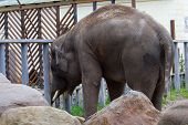 Lovable Grey Elephant At Summer Day, The Largest Mammal poster