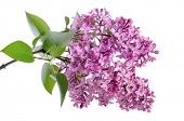 lilac on the white background