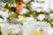 Branch Of Spruce Tree With White Snow. Winter Spruce Tree In The Frost.layer Of Snow On Branches Of  poster