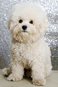 Bichon Frise dog. A beautiful Purebred Bichon Frise Puppy sits against a Silver Sequin Background. C poster