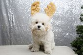 Christmas Puppy. Purebred Bichon Frise dog. Bichon Frise wears Christmas Antlers against a silver se poster