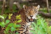 Jaguar in wildlife park of Jucatan in Mexico