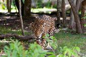Jaguar in wildlife park of Yucatan in Mexico