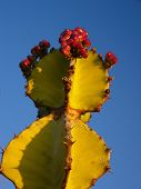 Transvaal candelabra tree (Euphorbia cooperi) - detail