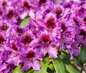 Rhododendron Hybrid Orakel (rhododendron Hybride), Close-up To The Flower Head poster