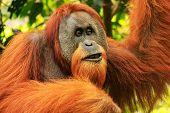 Portrait Of Male Sumatran Orangutan (pongo Abelii) In Gunung Leuser National Park, Sumatra, Indonesi poster