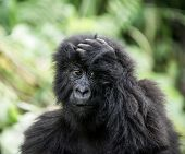 Young mountain gorilla in the Virunga National Park, Africa, DRC, Central Africa. poster