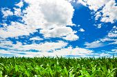 Corn field under a beautiful summer sky