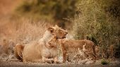Group Of Lions And Cubs In Beautiful Light. Wild Animals In The Nature Habitat. African Wildlife. Th poster