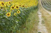 Sunflowers & Lavender