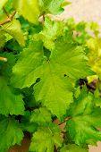 Vertical Shot Of Grape Leaf