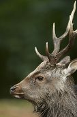 Close Up Portrait Of A Sika Deer Stag (cervus Nippon)