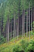 Green spruce, fir forest, panoramic view