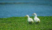 Pair of Pekin ducks alongside pond
