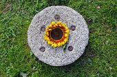 Historical Millstone On Grass And Sunflower Blossom