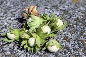 Hazelnut unripe