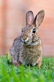 Curioso aspecto Sylvilagus bunny