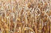 Closeup Of Ripe Bread Wheat