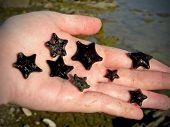 Handful of Cushion Starfish