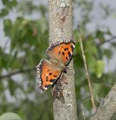 image of gadfly  - Butterfly the small tortoiseshell and a gadfly drink wood juice - JPG